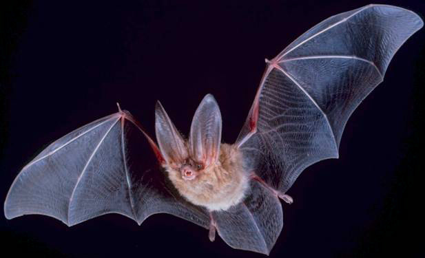 https://www.nps.gov/chis/learn/nature/townsends-bats.htm